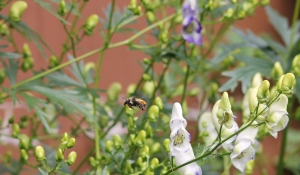 Bee in Delphinium