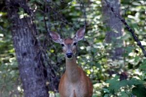 deer doe