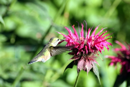 humminbird eaating from bee balm