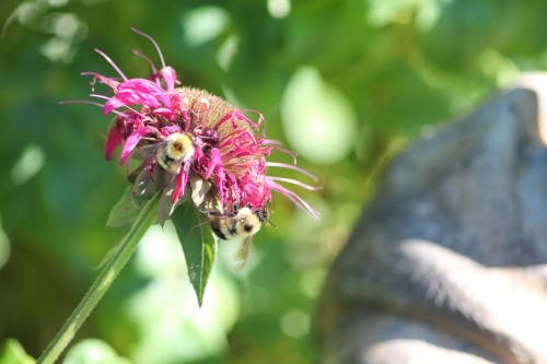 bees in bee balm
