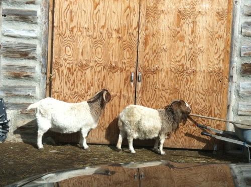 relaxed-goats