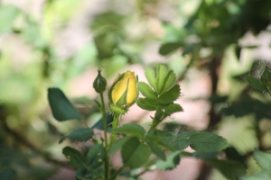 yellow rose bud